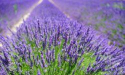 Plante medicinale lavande